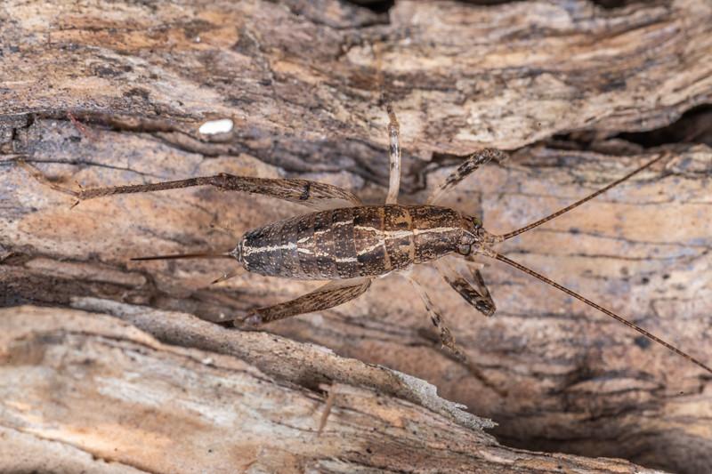 Cave wētā / tokoriro (Isoplectron armatum). Kaiterau Trail, Mt Fyffe, Kaikōura.