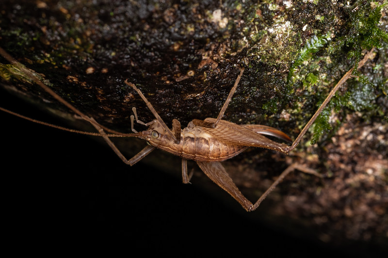 Cave wētā / tokoriro (Isoplectron poduroides) adult female. Danseys Reserve, Rotorua.