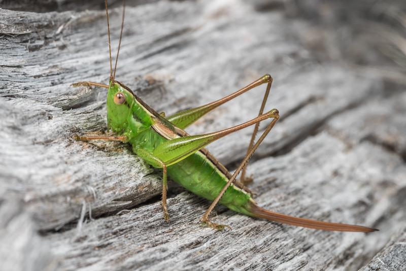 Field grasshopper (Conocephalus bilineatus). Matukituki River mouth, Lake Wanaka.