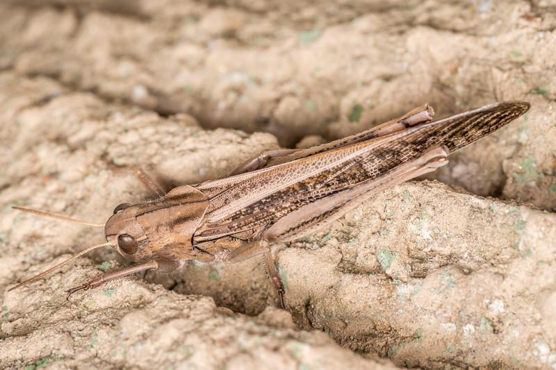 Migratory locust (Locusta migratoria). Onamalutu Rd, Blenheim, Marlborough.