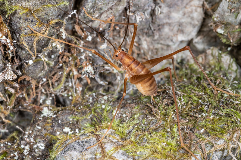 Cave wētā / tokoriro (Macropathus filifer) male. Bulmer Creek, Mt Owen, Kahurangi National Park.