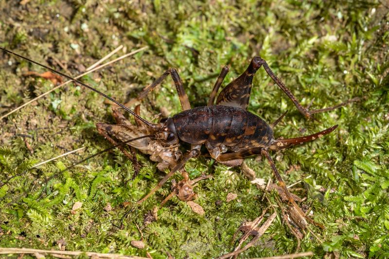 Cave wētā / tokoriro (Miotopus diversus) female. Sledge track, Palmerston North, Manawatū.