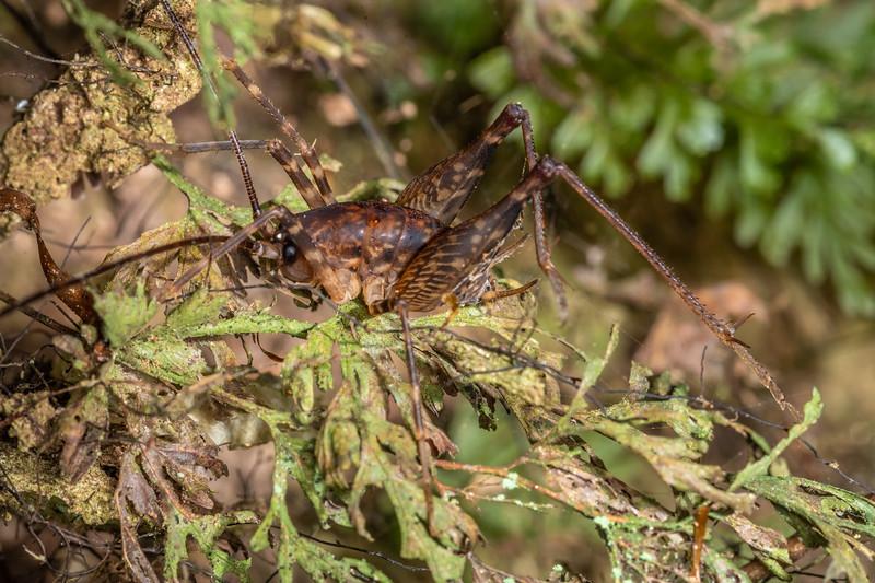 Cave wētā / tokoriro (Miotopus diversus) male. Sledge track, Palmerston North, Manawatū.