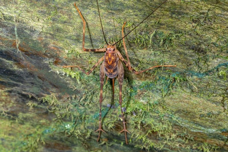 Cave wētā / tokoriro (Miotopus richardsae) adult female.  Bridle Track, Haast Pass.