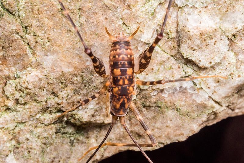 Cave wētā / tokoriro (Miotopus richardsae). Perry Saddle, Heaphy Track, Kahurangi National Park.