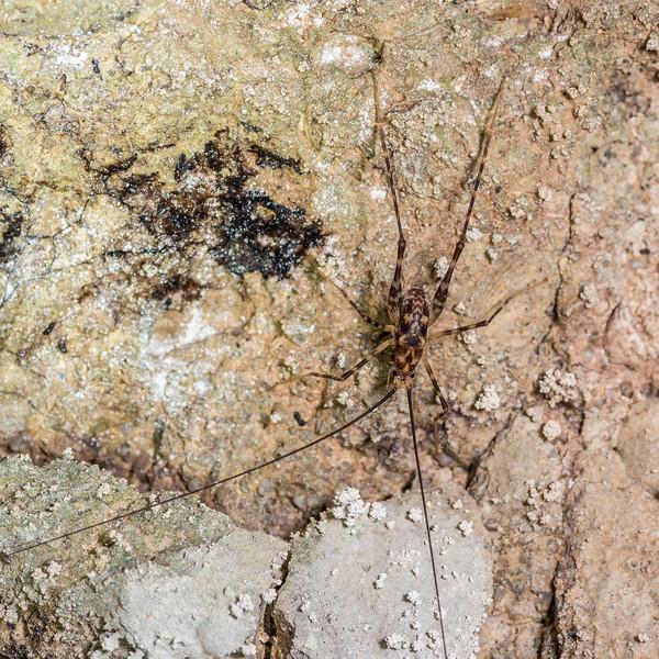 Cave wētā / tokoriro (Miotopus richardsae). Gouland Downs Caves, Heaphy Track, Kahurangi National Park.