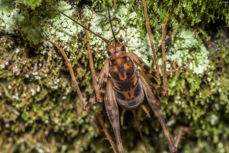 Female#2  cave wētā / tokoriro (Miotopus richardsae). Raspberry Flat, Matukituki River West Branch.