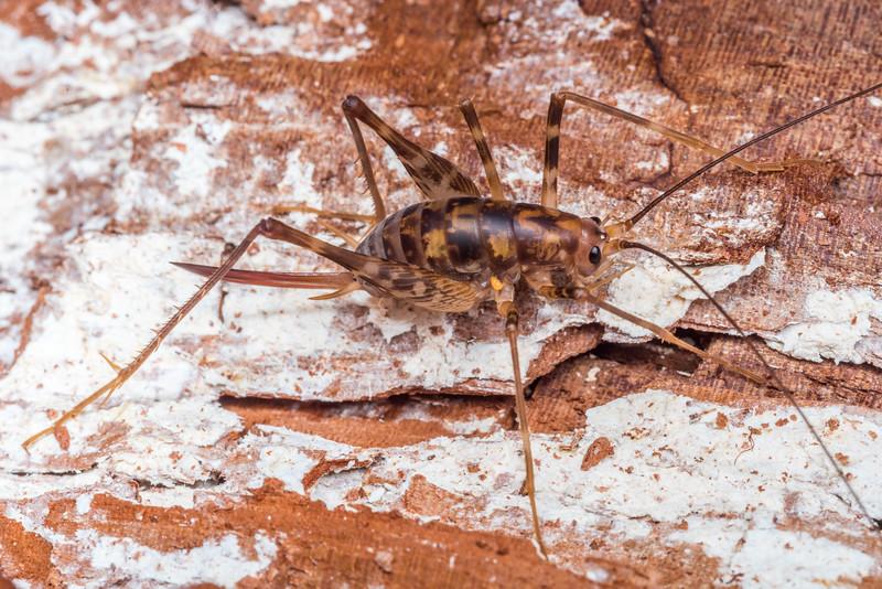 Miotopus richardsae adult female. Brewster Hut Track, Westland.