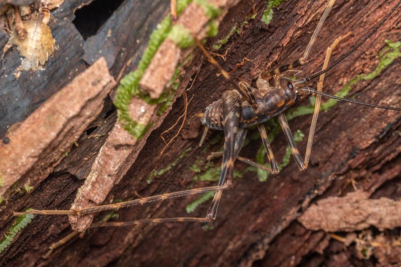 Cave wētā / tokoriro (Miotopus richardsae) male. Smoothwater Bay, South Westland.
