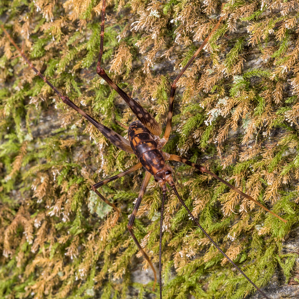Miotopus richardsae adult male. Raspberry Flat, Matukituki River West Branch.