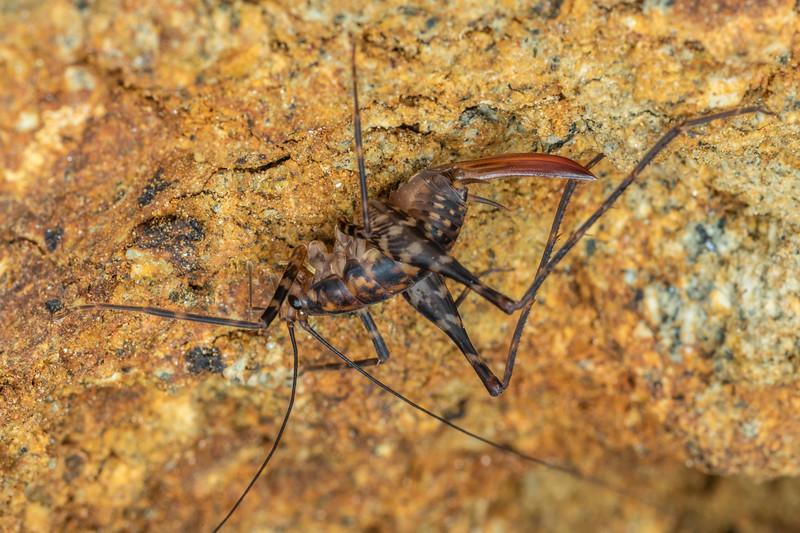 Cave wētā / tokoriro (Miotopus richardsae) adult female. Boars Head Mine, Taranaki.