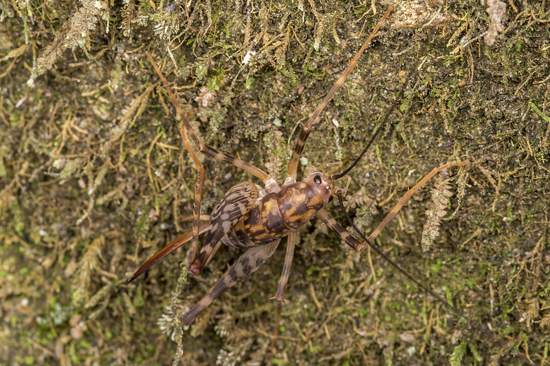 Miotopus richardsae adult female. Lower Gridiron Shelter, Mt Arthur, Kahurangi National Park.