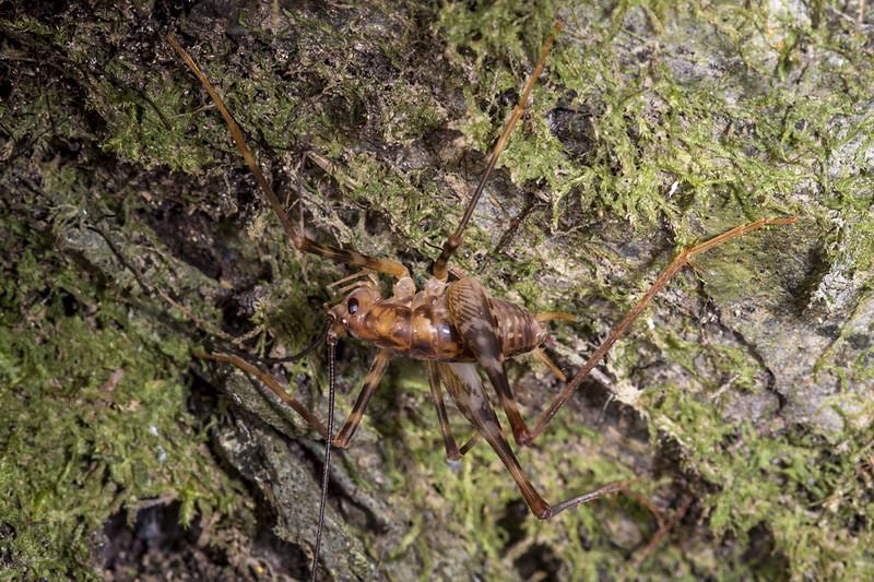 Miotopus richardsae. Nina Valley, Lewis Pass.