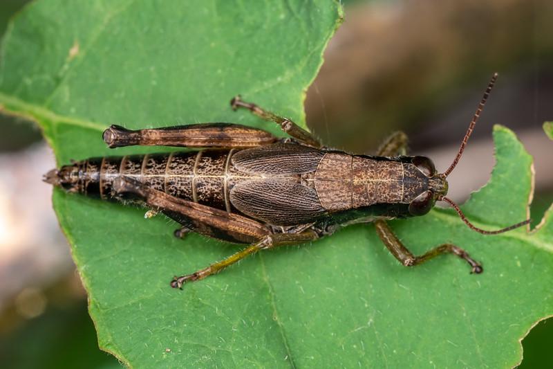 Spurthroat grasshopper (Melanoplus spp.). Wild River State Park, MN, USA.