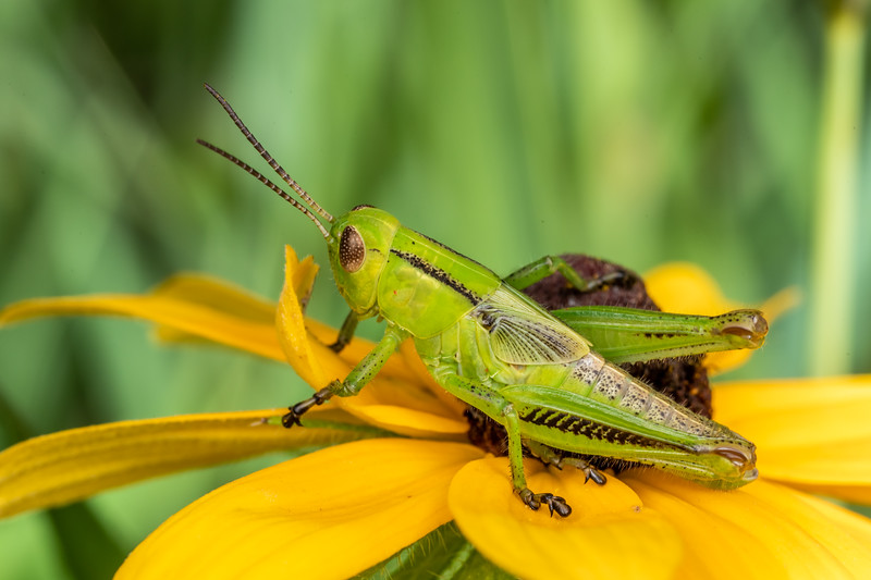 Spurthroat grasshopper (Melanoplus spp.) on black-eyed Susan (Ridbeckia hirta). Wild River State Park, MN, USA.