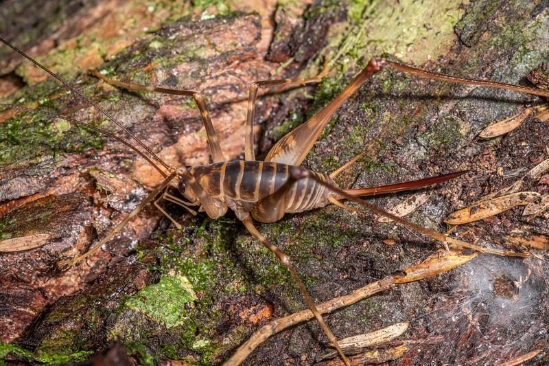 Cave wētā / tokoriro (Pachyrhamma acanthocerum) adult female. Waipu Caves Track, Northland.