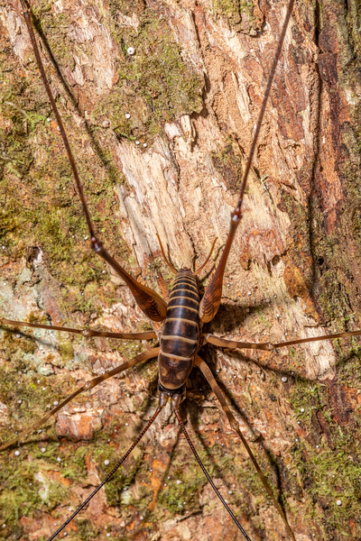 Cave wētā / tokoriro (Pachyrhamma acanthocerum) adult male. Waipu Caves Track, Northland.