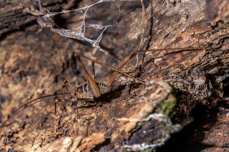 Cave wētā / tokoriro (Pachyrhamma acanthocerum) adult male. Tangihua Hut, Tangihua Forest, Northland.