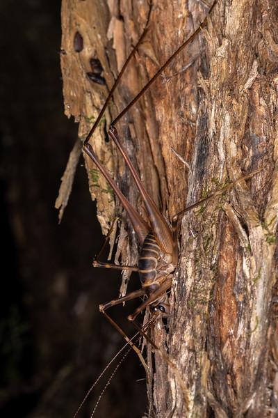 Cave wētā / tokoriro (Pachyrhamma acanthocerum). Tangihua Forest Nature Walk, Whangarei, Northland.