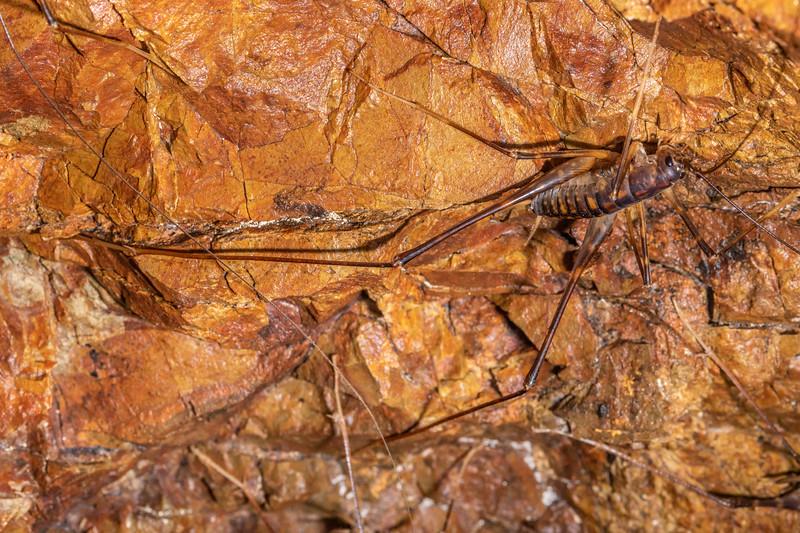 Cave wētā / tokoriro (Pachyrhamma cavernae) adult male. Waterworks Walk, Ngaruawahia.