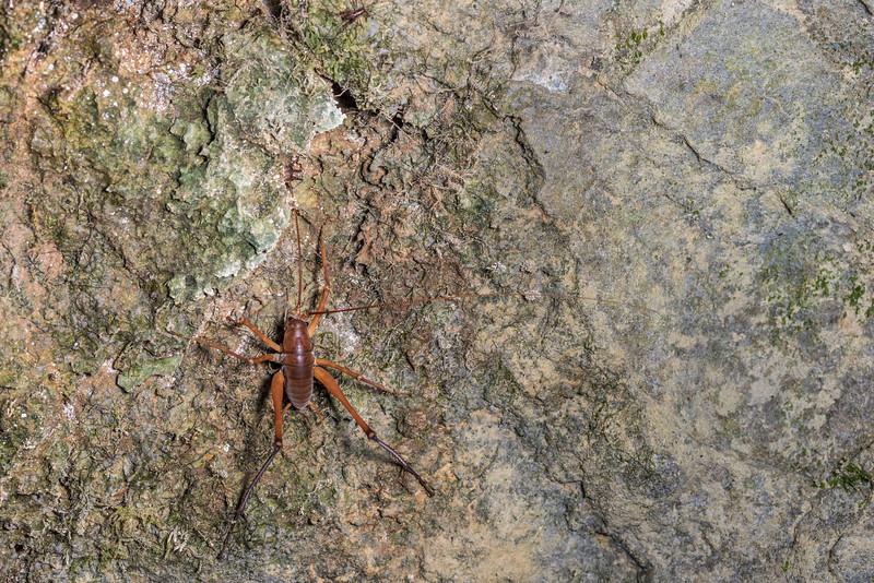 Cave wētā / tokoriro (Pachyrhamma delli). Gouland Downs Caves, Heaphy Track, Kahurangi National Park.