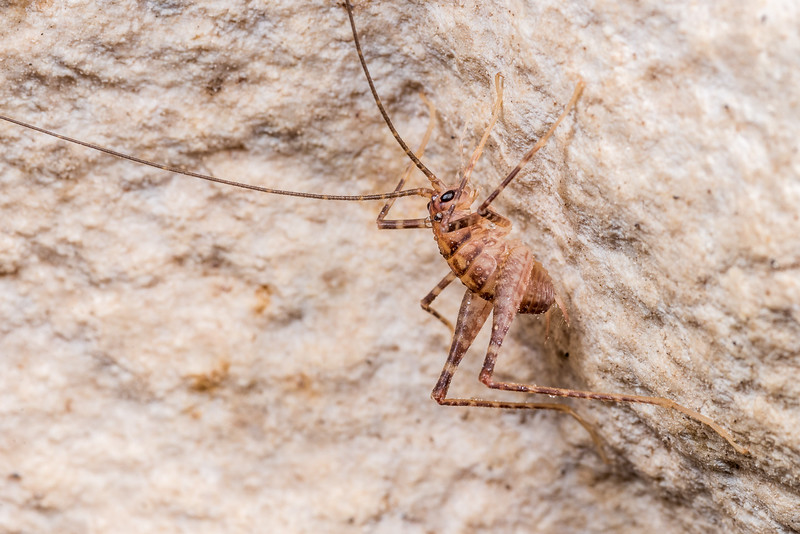 Cave wētā / tokoriro (Pachyrhamma edwardsi) nymph. Gouland Downs Caves, Heaphy Track, Kahurangi National Park.