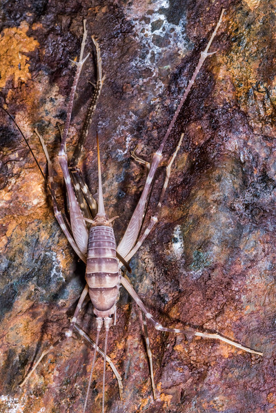 Cave wētā / tokoriro (Pachytrhamma edwardsi) female moulting. United Mine, Nelson.