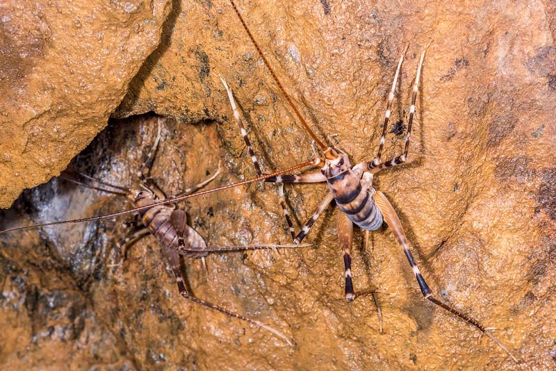 Cave wētā / tokoriro (Pachytrhamma edwardsi). United Mine, Nelson.