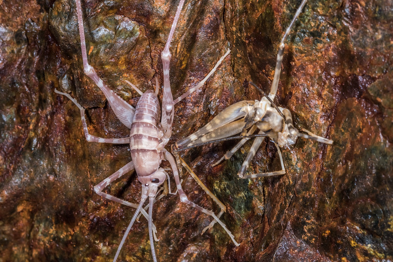 Cave wētā / tokoriro (Pachytrhamma edwardsi) male moulting. United Mine, Nelson.