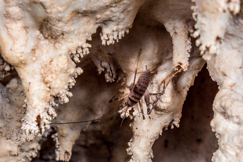 Cave wētā / tokoriro (Pachyrhamma edwardsi). Gouland Downs Caves, Heaphy Track, Kahurangi National Park.