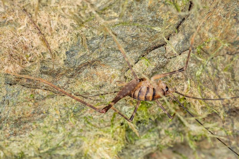 Cave wētā / tokoriro (Pachyrhamma edwardsii). Sledge Track, Palmerston North.