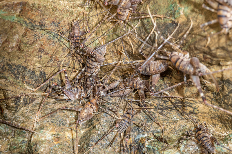 Cave wētā / tokoriro (Pachyrhamma edwardsii). Jubilee Mine, Richmond Range, Marlborough.