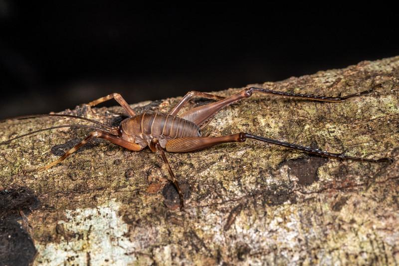 Cave wētā / tokoriro (Pachyrhamma longipes). Alice Nash Memorial Heritage Lodge, Ruahine Forest.