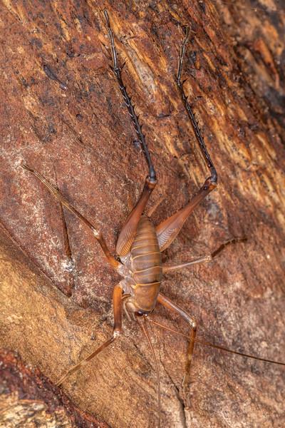 Cave wētā / tokoriro (Pachyrhamma longipes) adult male. Patea Loop Track, Taranaki.
