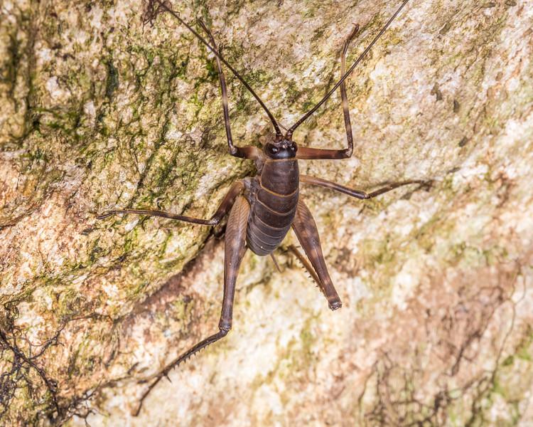 Pachyrhamma longipes male. Otaki Forks, Tararua Forest Park.
