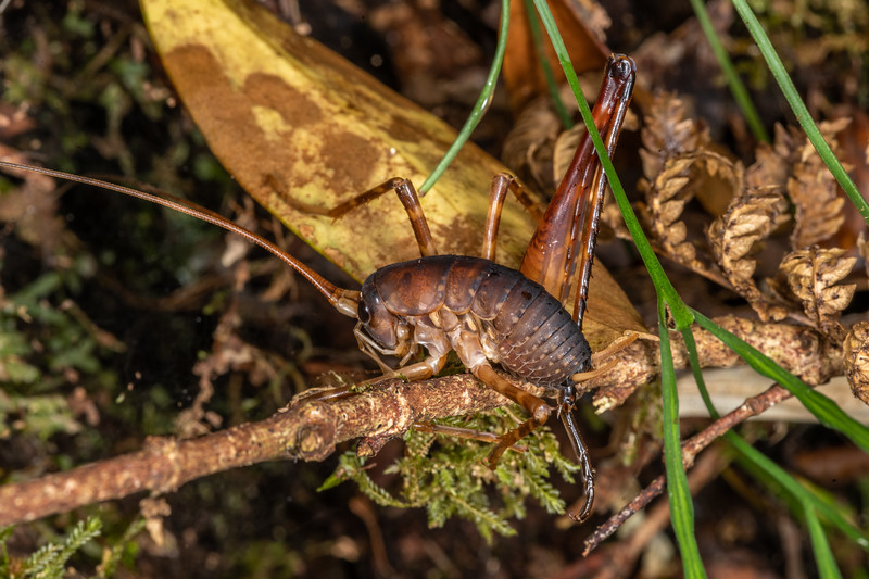 Cave wētā / tokoriro (Pachyrhamma longicaudum x longipes hybrid) adult male. Patea Loop Track, Taranaki.