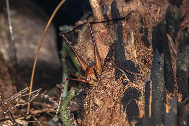 Cave wētā / tokoriro (Pachyrhamma longipes) adult male. Crosbies Hut, Coromandel Range.