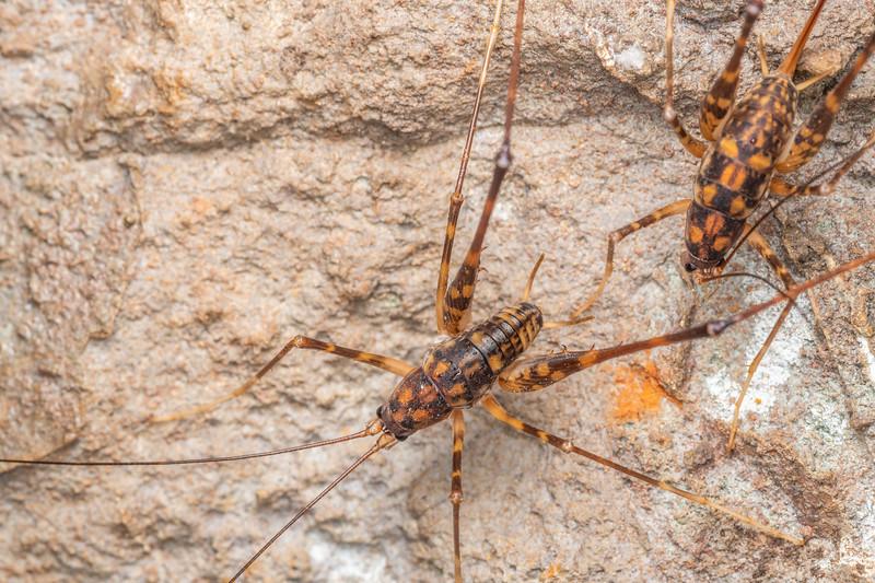 Goldmine cave wētā / tokoriro (Pachyrhamma uncatum), adult male guarding female. Tinker Stream, Thames.