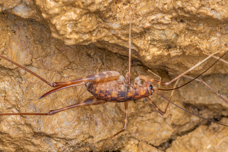 Goldmine cave wētā / tokoriro (Pachyrhamma uncatum), adult female. Tinker Stream, Thames.