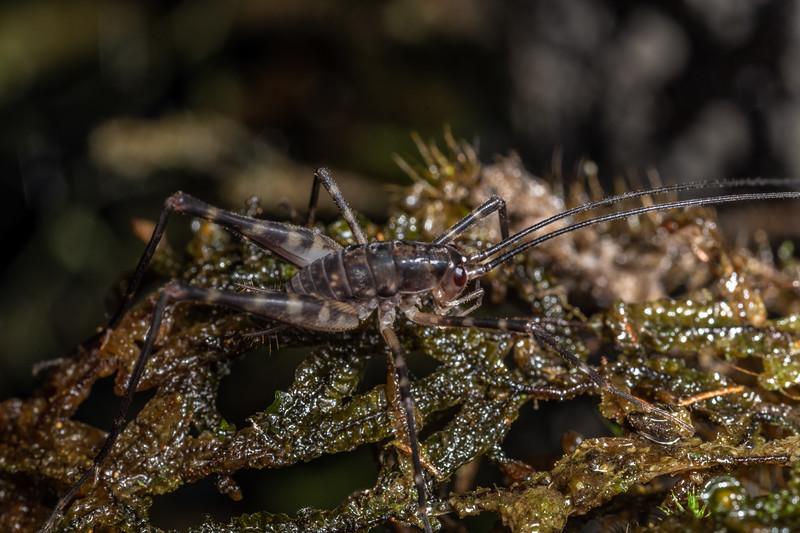 Cave wētā / tokoriro (Pachyrhamma spp.) nymph. Te Whare Okioki, Kaimai Range, Waikato.
