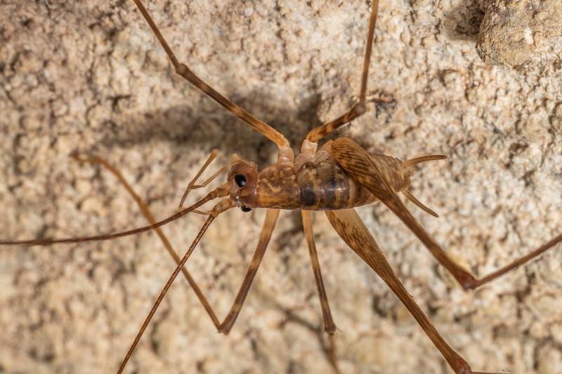 Cave wētā / tokoriro (Pallidoplectron turneri) adult male. Mangahopue Cave, Waitomo.