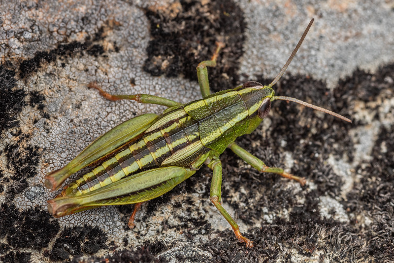 Grasshopper (Paprides nitidus). Mount Somers, Canterbury.