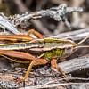 Paprides nitidus, a short-horned grasshopper (Acrididae). Korowai / Torlesse Tussocklands Park, Canterbury.