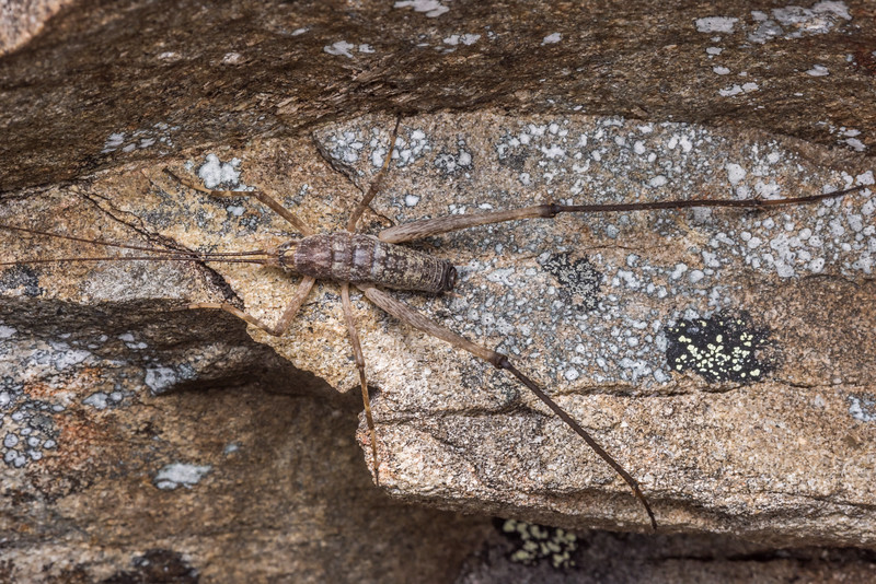 Petrotettix cupolaensis adult male. Angelus Peak, Nelson Lakes National Park.