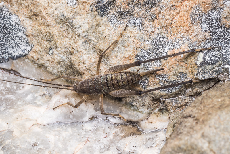 Petrotettix cupolaensis female. Angelus Peak, Nelson Lakes National Park.