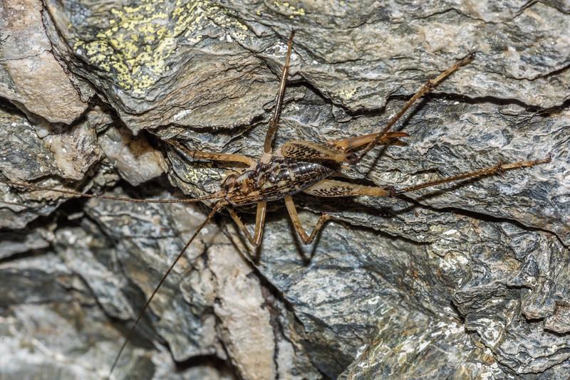 Pharmacus chapmanae adult female. Dasler Pinnacles, Naumann Range.