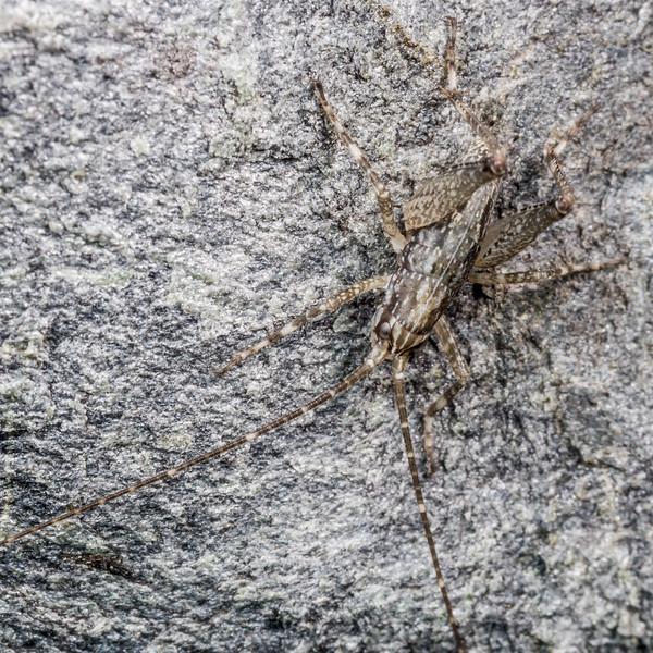 Cave wētā (Pharmacus chapmanae). Major Peak, Wakatipu.