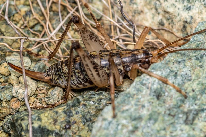 Cave wētā (Pharmacus cochleatus) adult female. Skippers Range, Fiordland National Park.