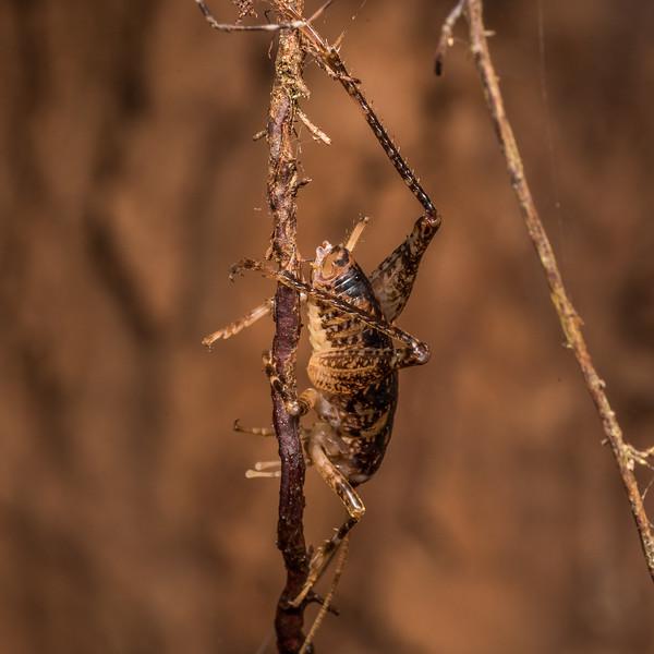 Cave wētā / tokoriro (Pharmacus chopardi) male. Green Lake, Fiordland National Park.