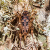 Pharmacus chopardi female. Bog Burn, Takitimu Forest.